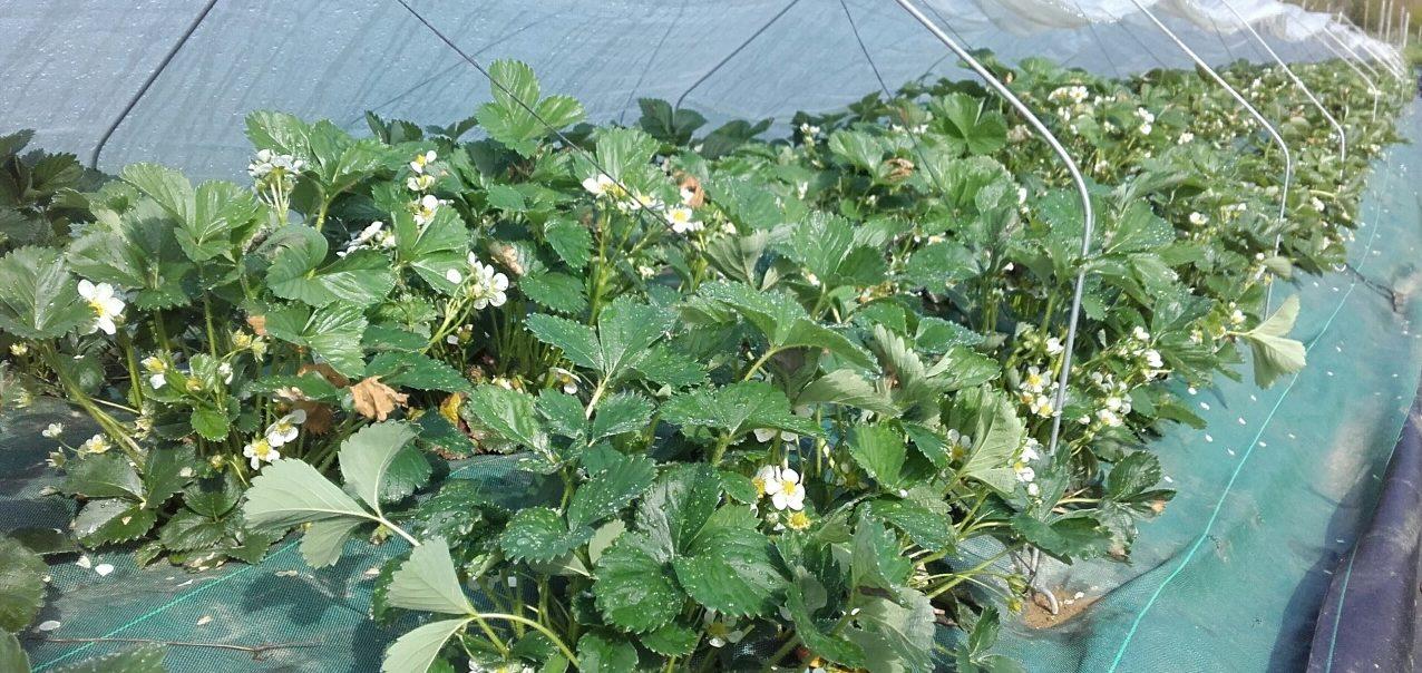 fraisier en fleur au Rbis du Verger